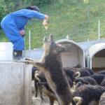 Wollschweine Tierämtli